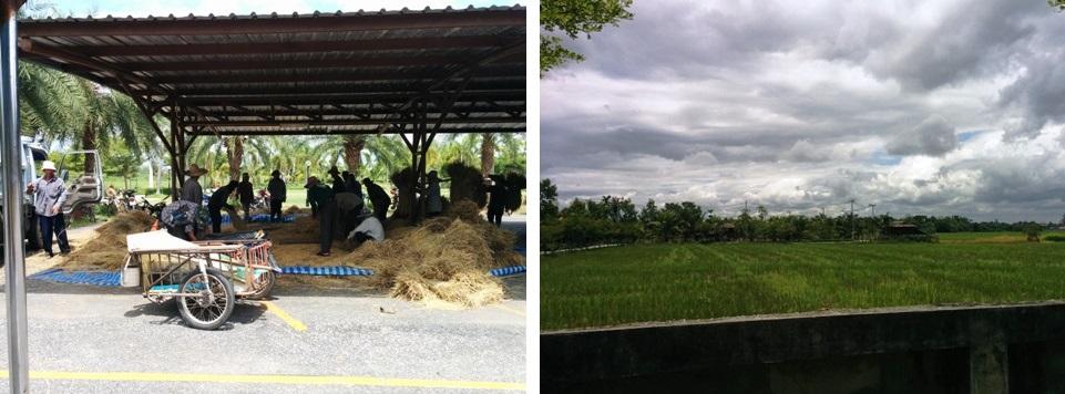一大片的稻田