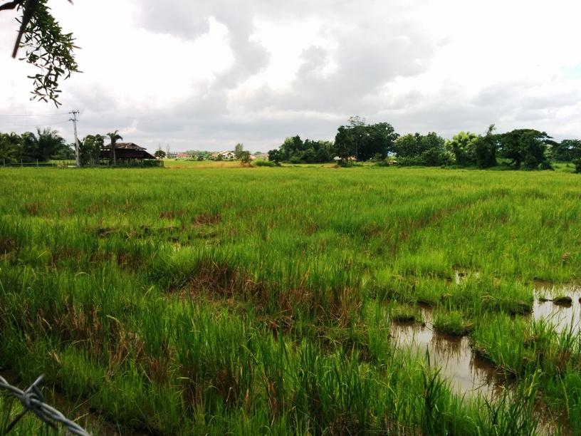 很大片的稻田-23