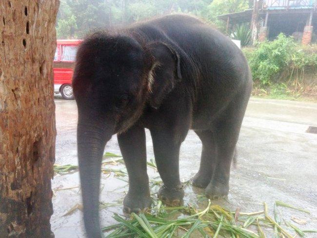 小象還在吃