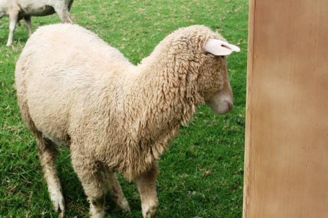 害羞的青青草原羊羊