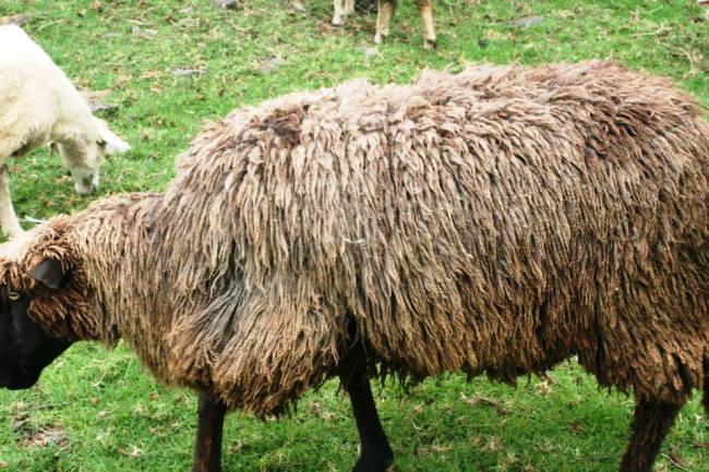 毛毯黑臉羊
