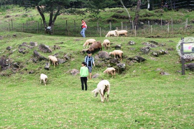 整個山坡都是羊