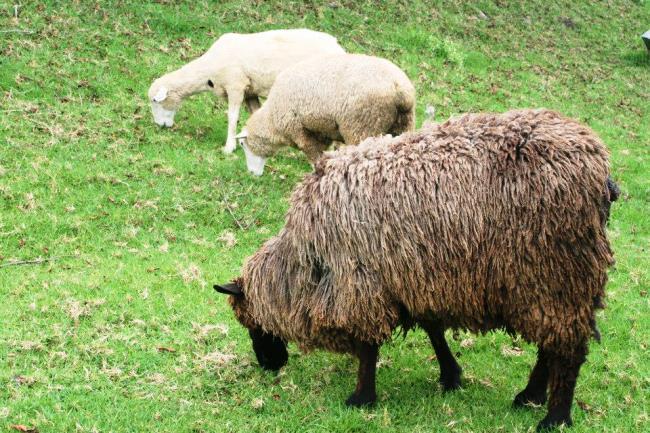 那裡都是羊