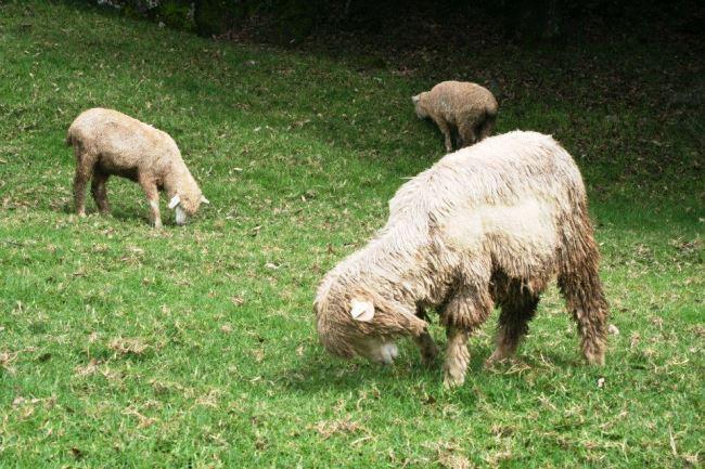 羊除了吃還是吃