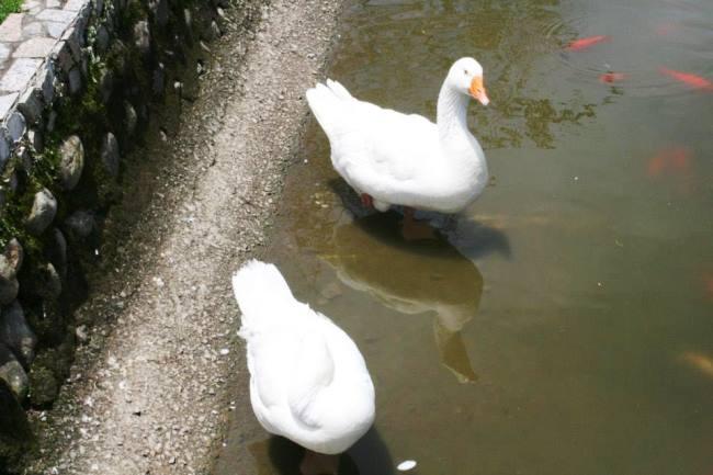 很多鴨鴨在游泳