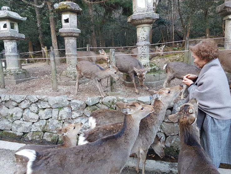 日本婆婆被鹿圍